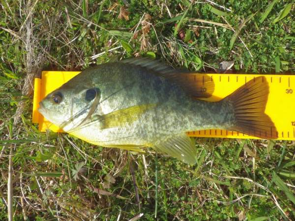 11.25 inch citation bluegill