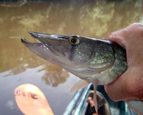 Nottoway River pickerel